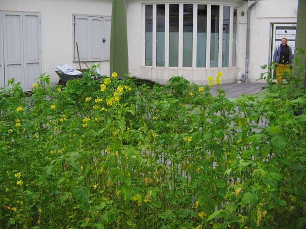 Da die Plattierungsarbeiten im Sommer abgeschlossen waren und die Pflanzenarbeiten erst im Herbst fortgesetzt werden konnten, säten wir zur Bodenlockerung eine Gründüngung aus.